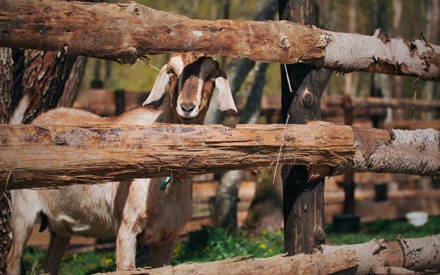 LÍZA (anglonubíjska koza)