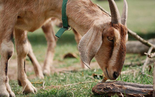 LÍZA (anglonubijská koza)