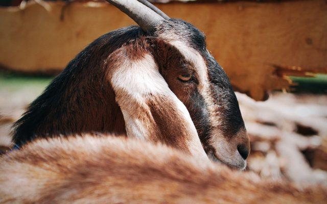 ELLA (anglonubijská koza)